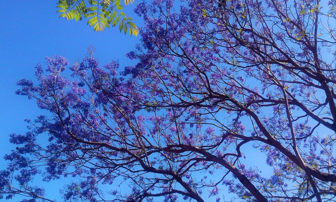 Jacaranda in my garden, Mauritius | photo by @sharvina.y (my own) on Instagram